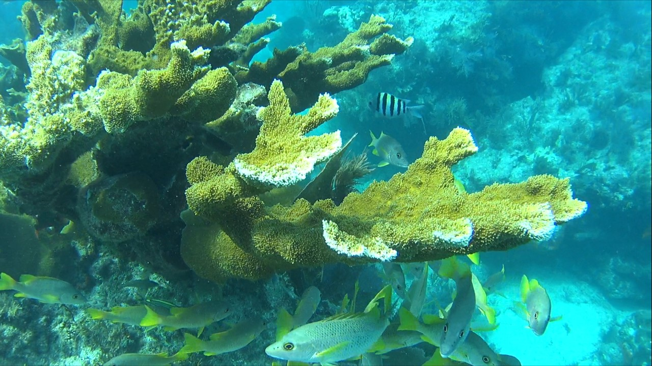 A patch of Elkhorn Coral off of Key Largo. Now a rare sight. Photo: Curtis Whitwam