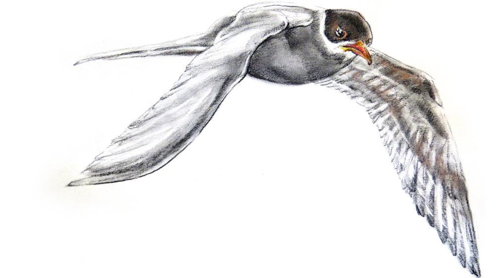 Arctic Tern 2.jpg