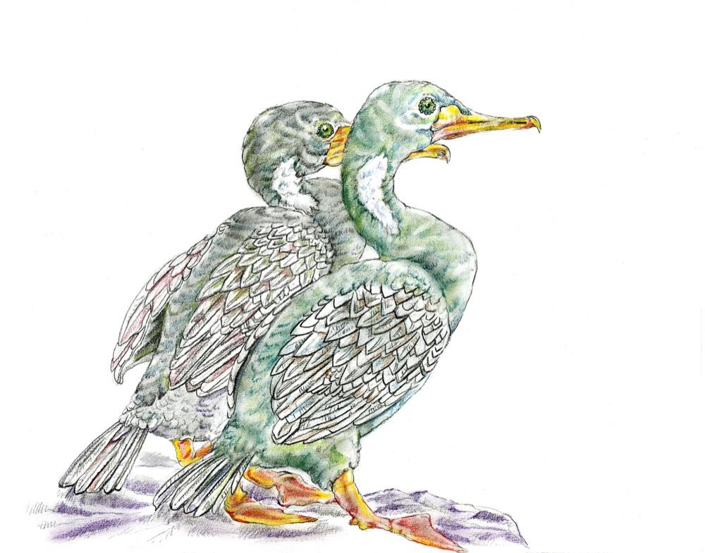 Red-Legged Cormorants 2.jpg