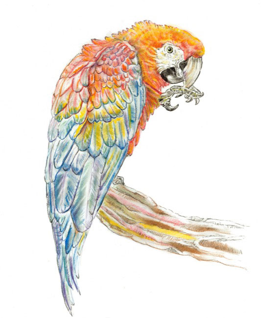 RedMacaw_drawing.jpg