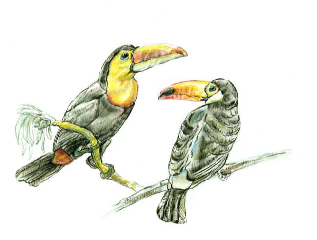 toucansnew_drawing.jpg