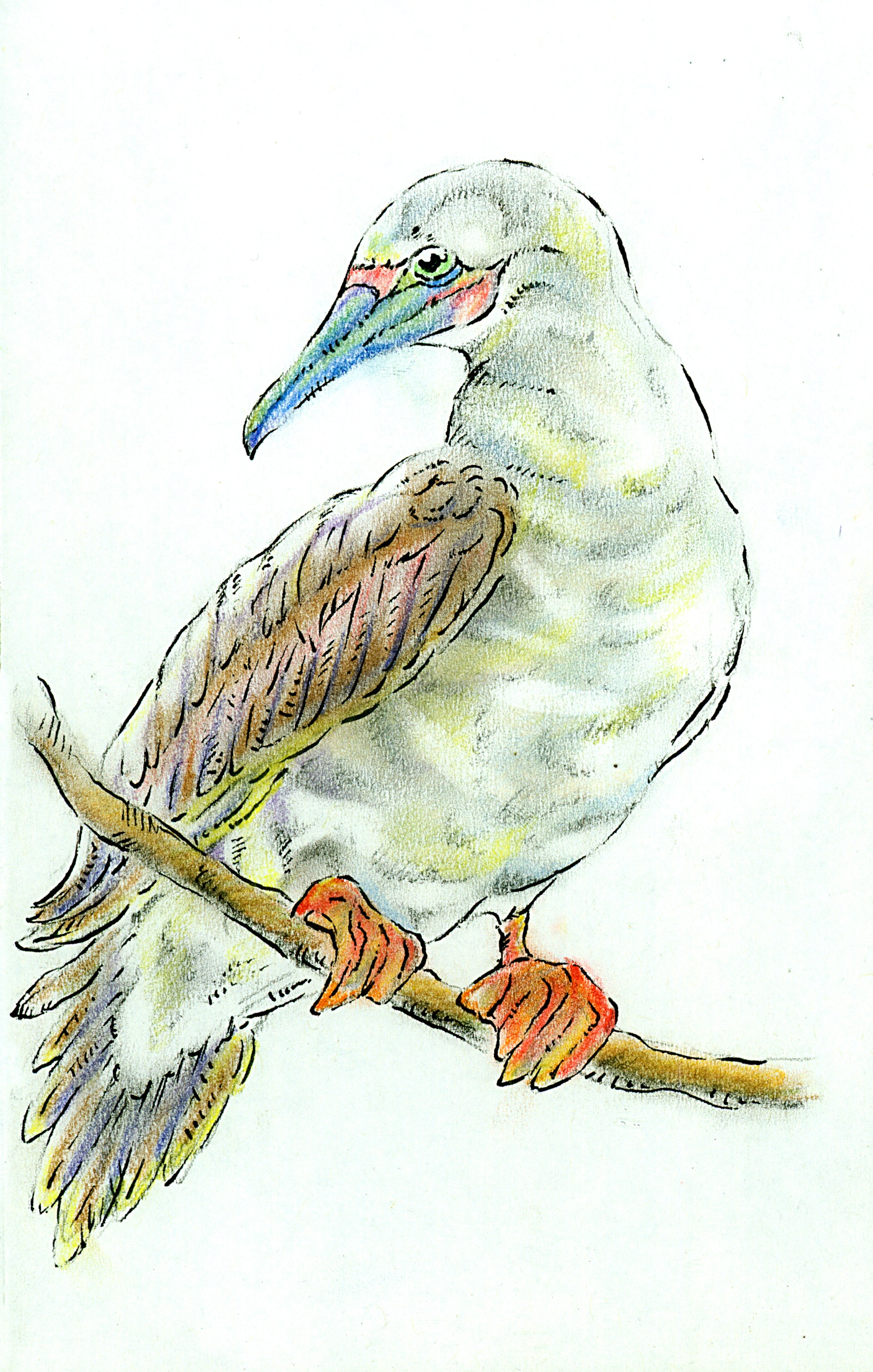 Red Footed Booby Regal Edited.jpg