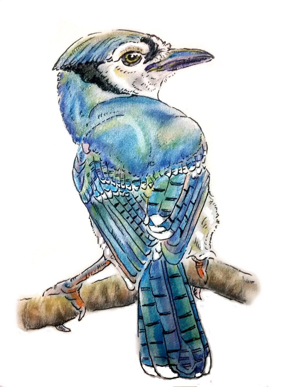 Sept - Blue Jay .jpg