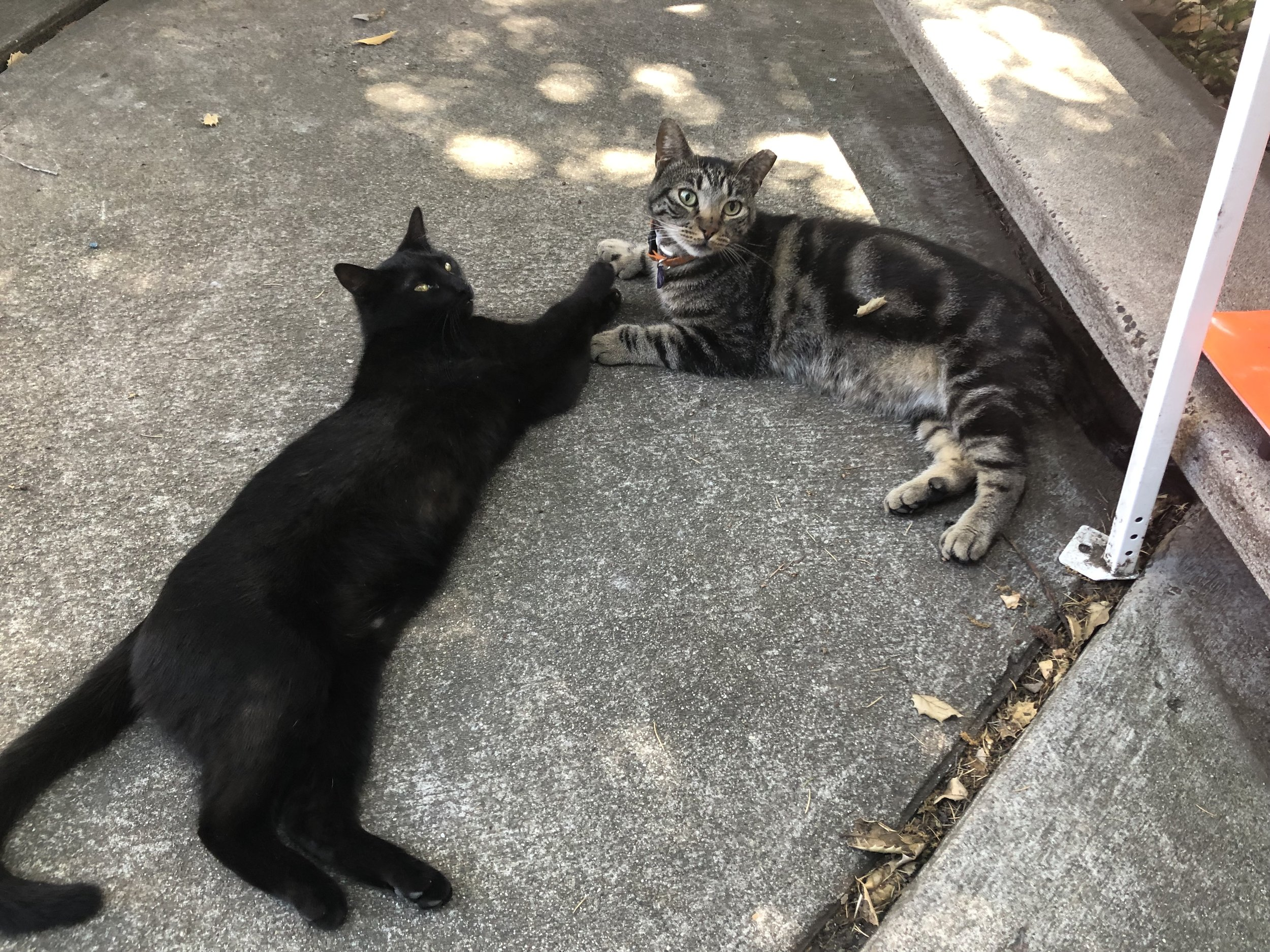 Adopting in pairs gives cats a buddy