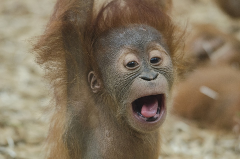 baby-orangutan-1056338_960_720.jpg