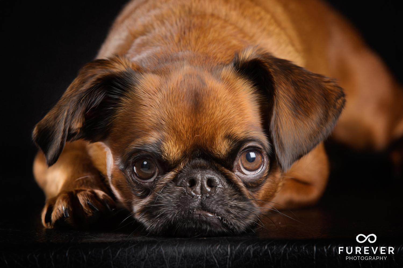 Dog_Photographer_Auckland_ Brussels Griffons - Blue 1.jpg