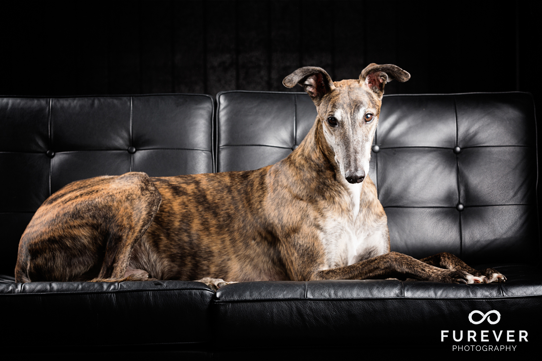 Dog_Photographer_Auckland_ Greyhound - Will.jpg