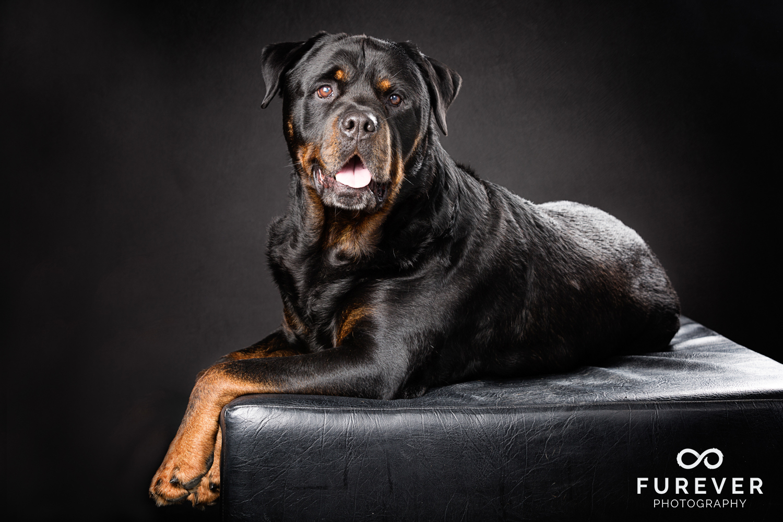 Dog_Photographer_Auckland_ Rottweiler - Zephyr.jpg