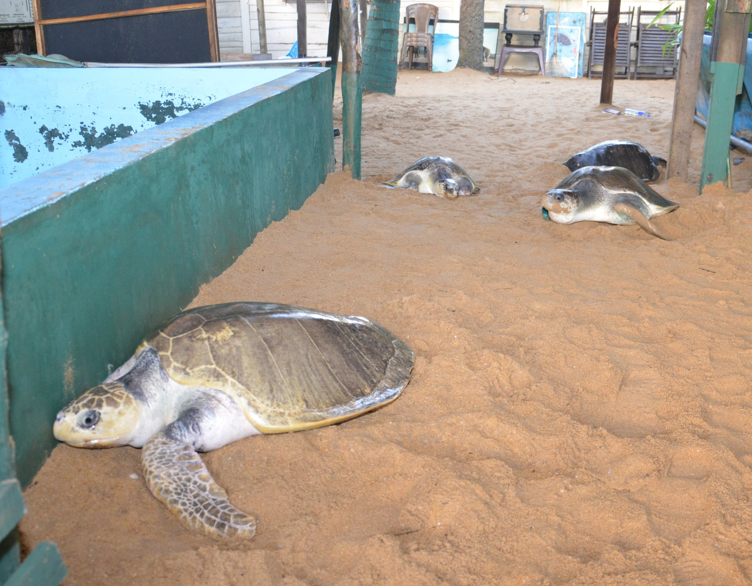 Limbless turtles. Could they be released into the sea with prosthetic limbs .