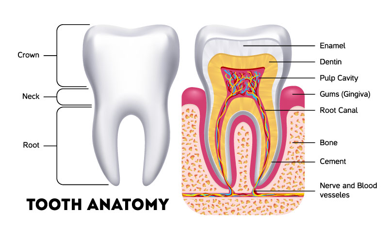 tooth-anathomy.jpg