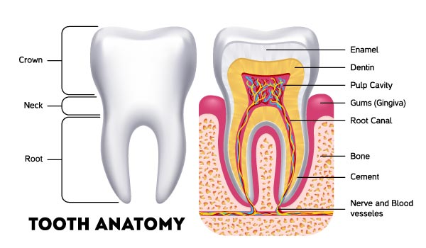 Tooth Anatomy - Root canal remains, for many patients, the only viable option to retain a tooth that has suffered severe damage or tooth root with inflammation or infection.