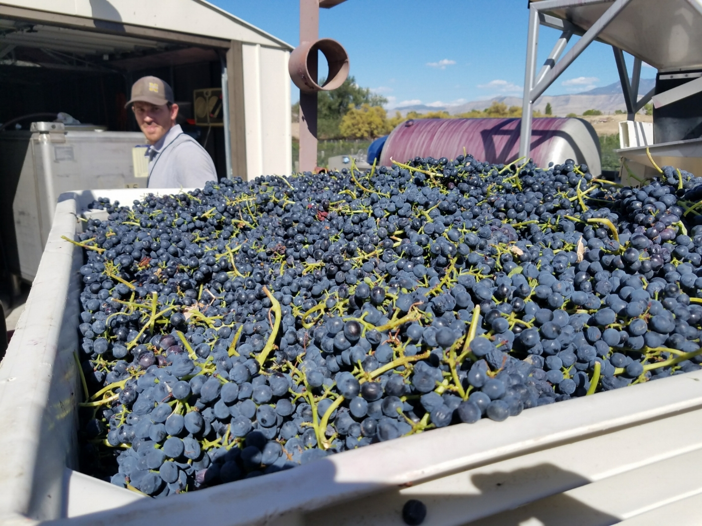 2017 harvest in the Colorado Palisades.  (Photo: Michael Arnsteen)