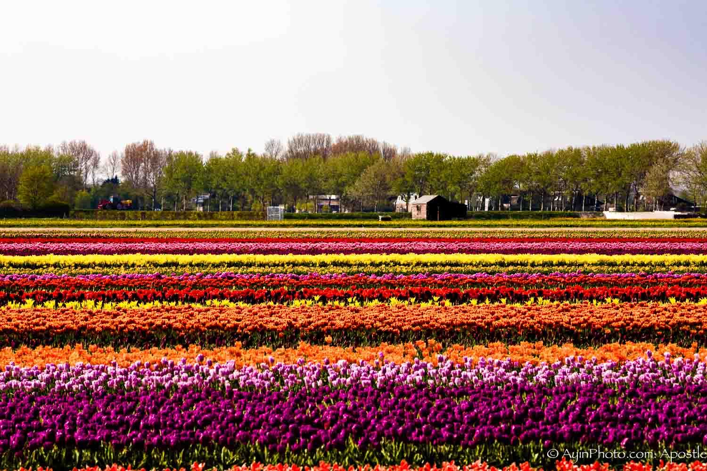 Tulip pano 74A3661-.jpg