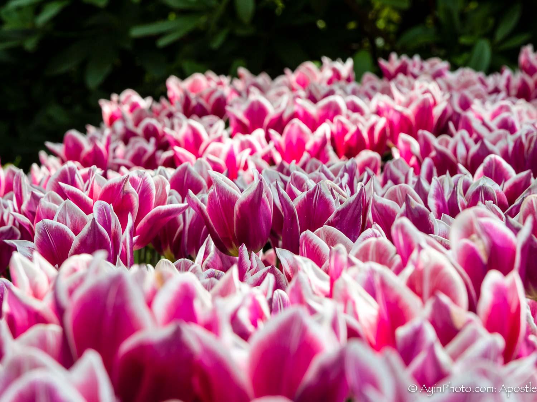Tulip-3398.jpg