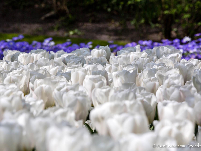 Tulip-3406.jpg