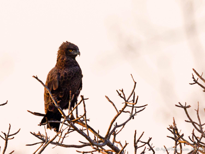 South Africa Brown Snake Eagle 81A5984-.jpg