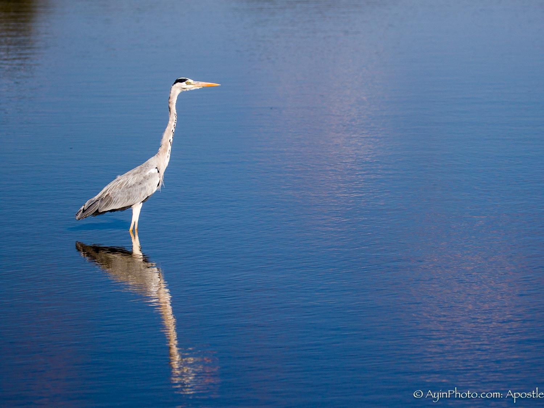 South Africa Gray Heron-5640.jpg