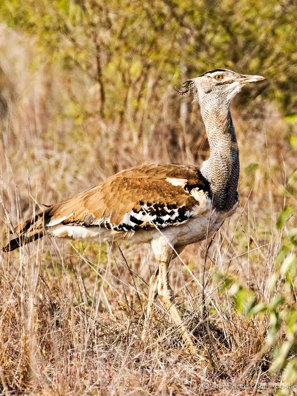 South Africa Korey Bustard 81A6171-.jpg