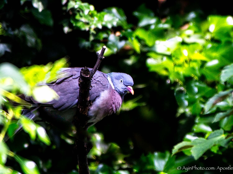 Belgian Dove 1063-.jpg