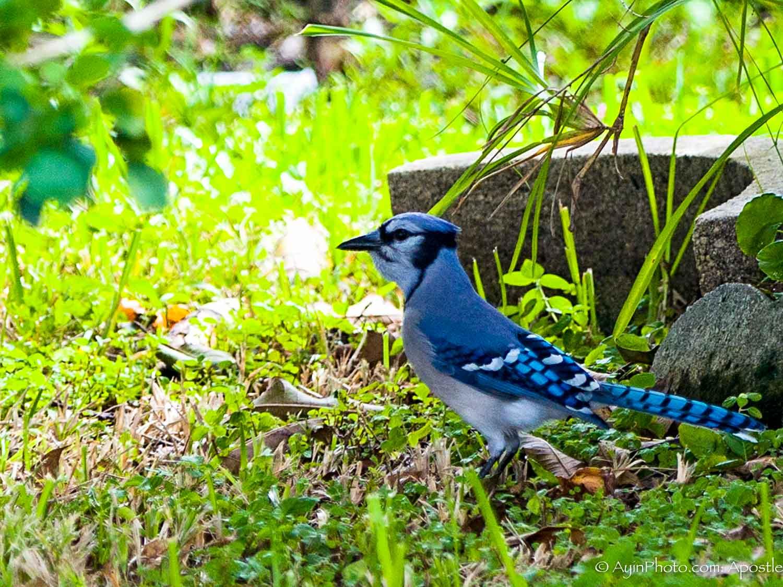 Blue Jay-.jpg