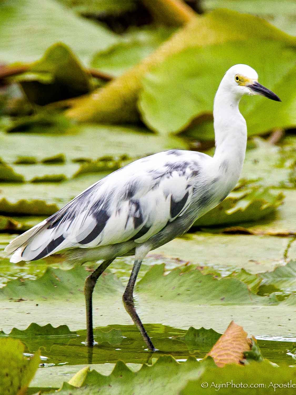 Jamaica Young Egret 9840-.jpg