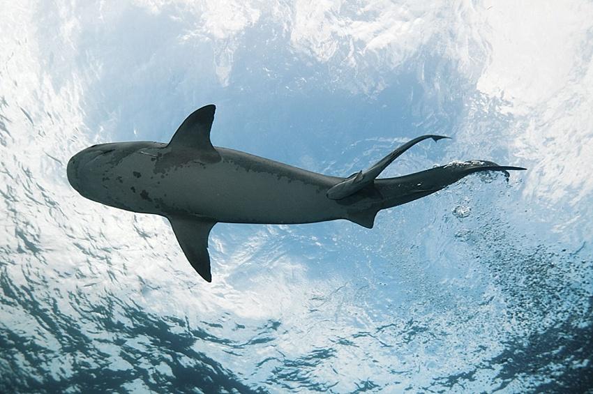 shark attack info maui