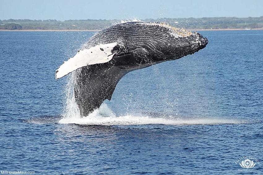 hawaii whale season