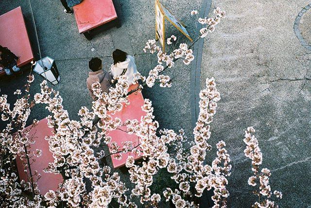 Kon er maar elke dag kersenbloesem zijn 🌸 #japan #analogue