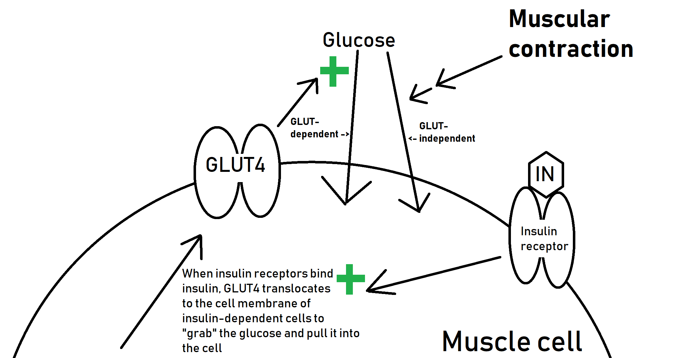 This example of a special circumstance in which glucose can enter the muscle cell without insulin first acting on the cell tells us that although weight change is ultimately dependent on an energy imbalance, a  myriad  of other factors (some not even dietary, such as the signaling role of muscular contraction) will impact where we see that weight change.