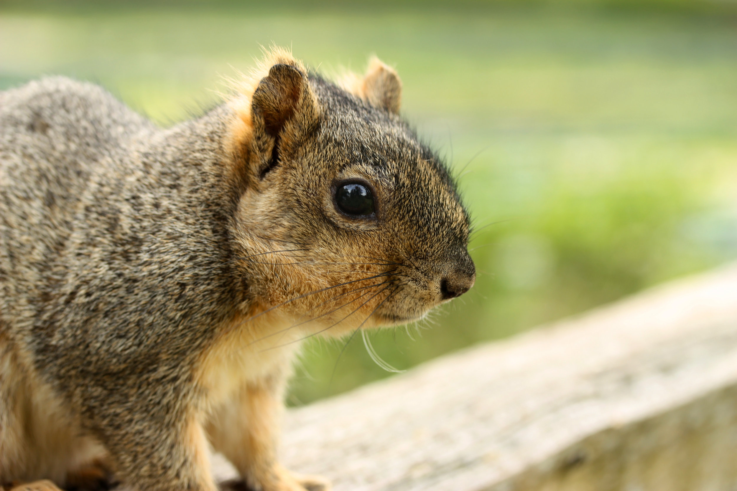 - Portland is experiencing an increase in squirrel and rat populations. We've gotten some calls from clients panicked about rodent intruders. While this is a distressing problem, it is also fixable and best handled with swift action. Here is some information to help you get started.Learn how to get squirrels out of your attic>>