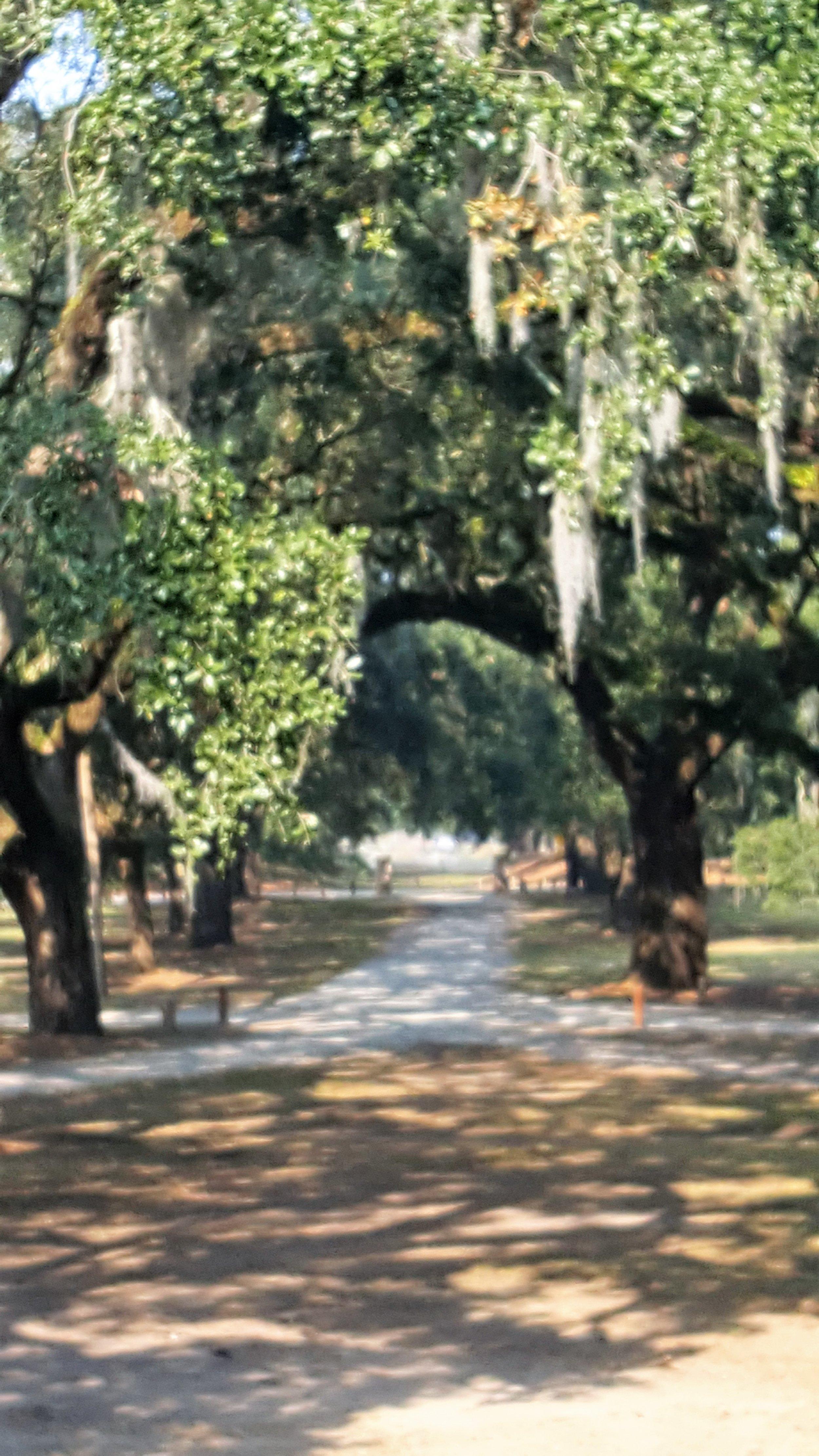 plantatiomcltrees.jpg