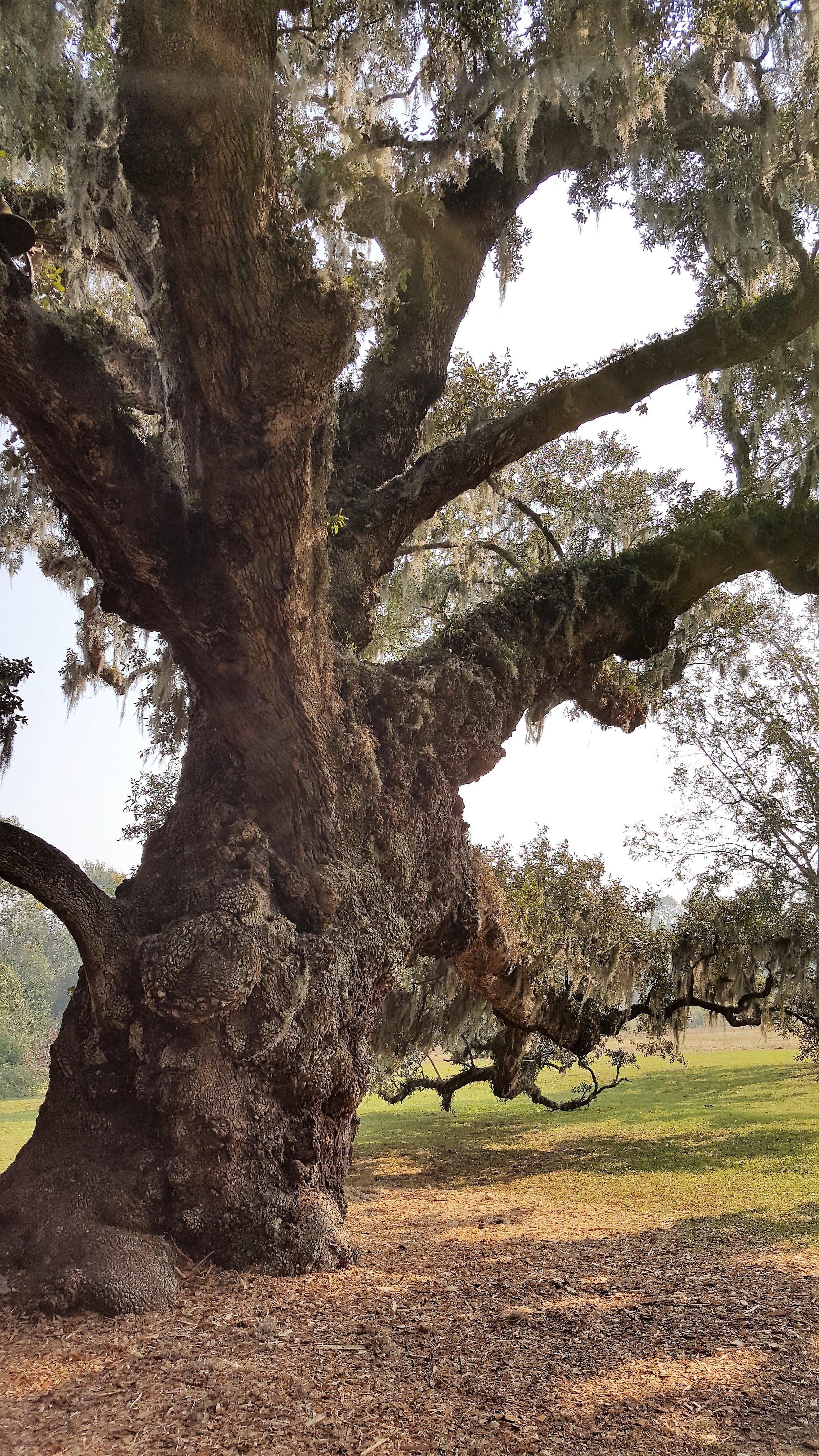 plantationmcltree.jpg