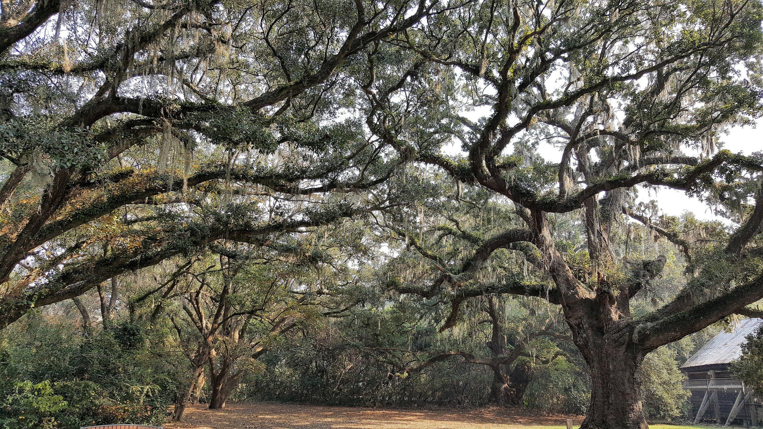 plantationmcltreehoriz.jpg