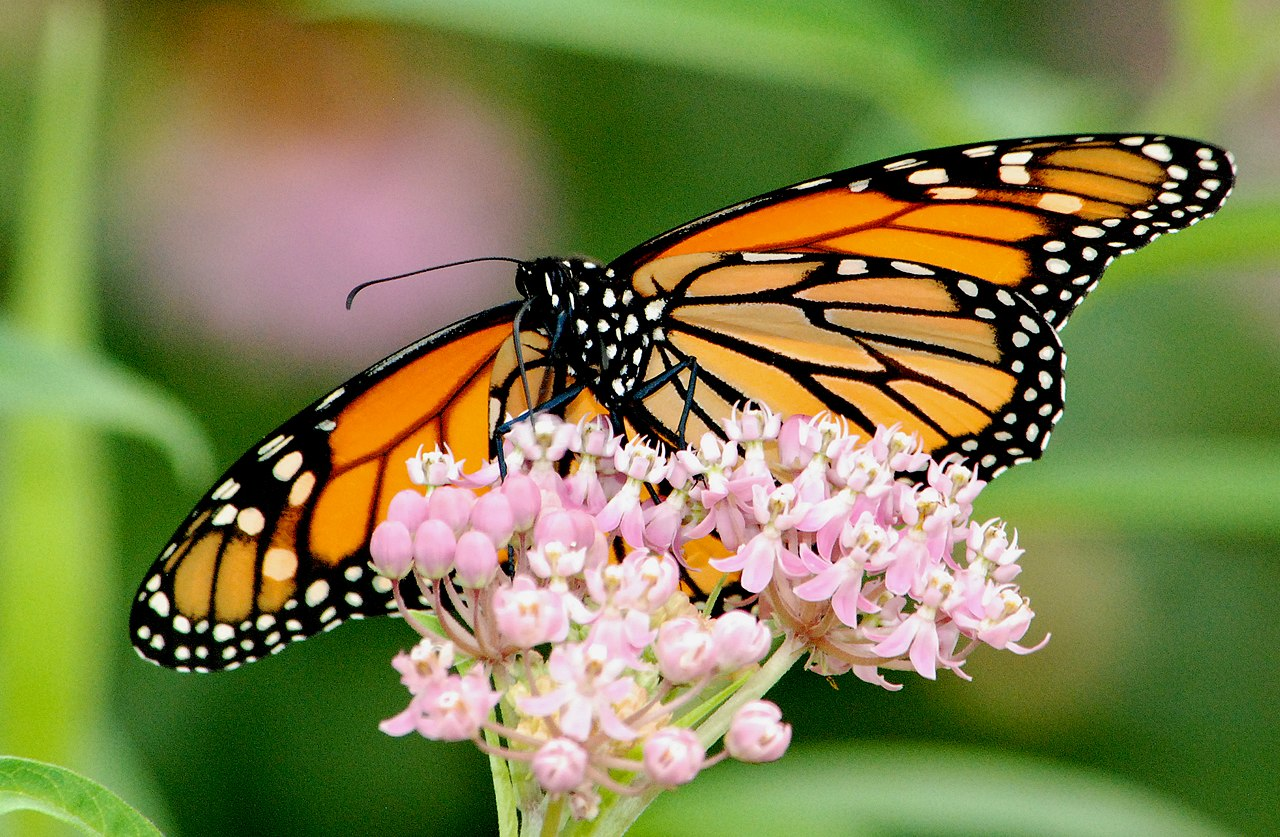 Monarch Butterfly on Swamp Milkweed  Photo by Jim Hudgins/USFWS