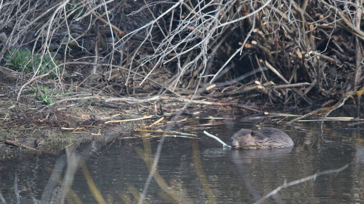 Photo of a Wasatch beaver courtesy of Carol Orr, Program Associate at the Wilburforce Foundation
