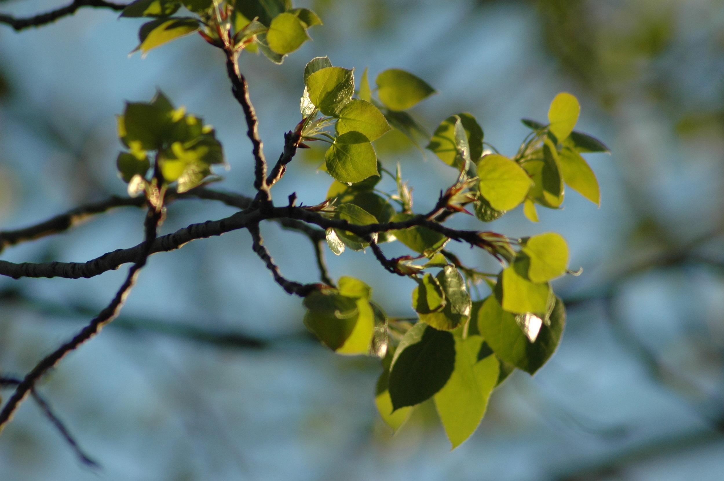 Turning Aspen Leaves.JPG