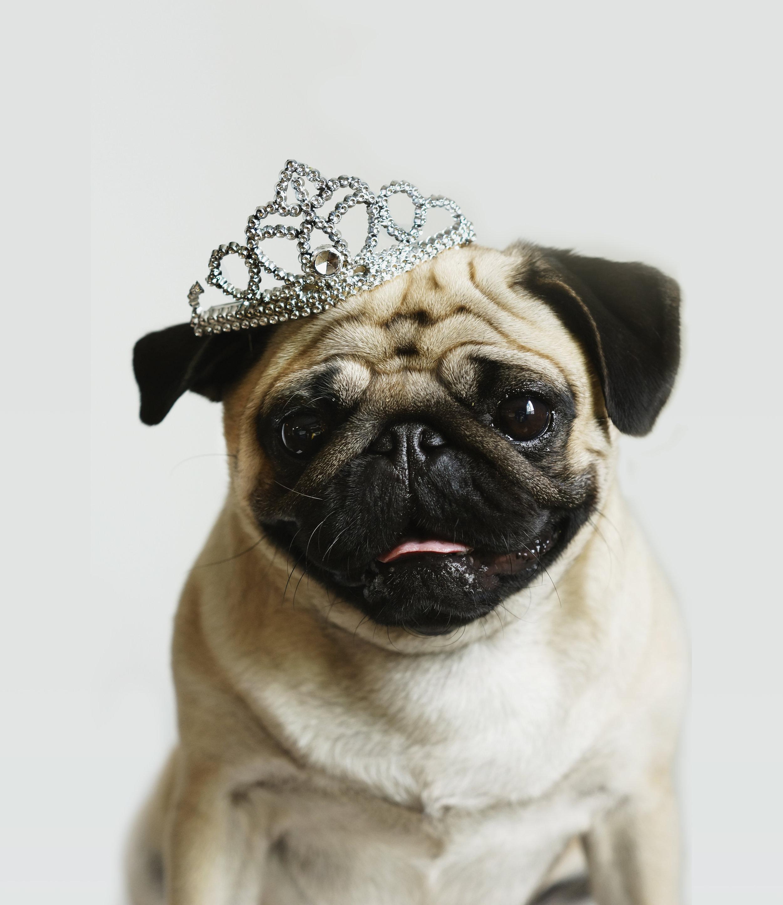 animal-animal-close-up-close-up-dog-dog-dog-animals-pet-pet-pug-pug-eyes-eyes-ears-ears-whiskers_t20_7AXVaj.jpg