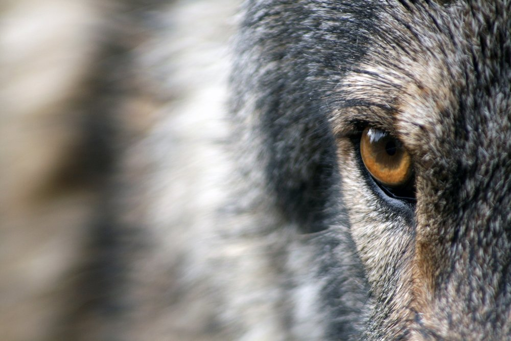Wolves can change ecosystems (Photo: Sandra Peterson)