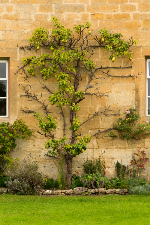 Pear espalier stretching up this old stone wall.