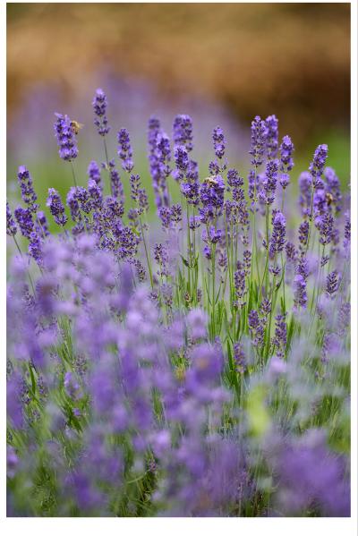Lavender in bloom.