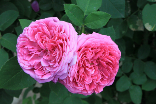 A pair of beautiful pink quartered roses full of petals. These French style quartered roses are among my favorites. This quartered style of rose can be found in both English and French varieties. I love the fullness of the petals.