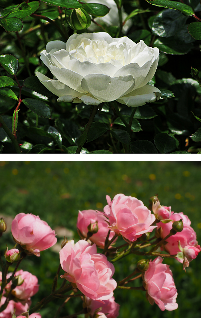 These English roses have a cabbage bowl shape.
