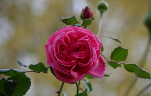 This beautiful pink rose is a quartered shaped rose that is in the process of opening.  These roses usually open pretty flat and once fully open you can see each section of petals.
