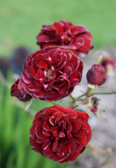This red rose has a shape that is consistent with Damask roses where the petals are full and loose flowing with a open round shape.