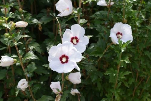 Pretty white Hollyhocks.