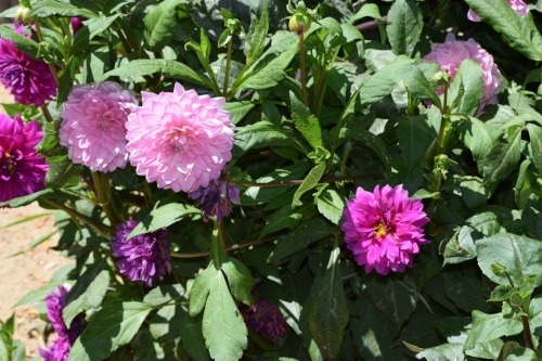 Light and bright pink Dahlia