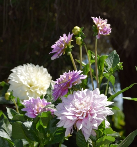 White and pale pink Dahlia