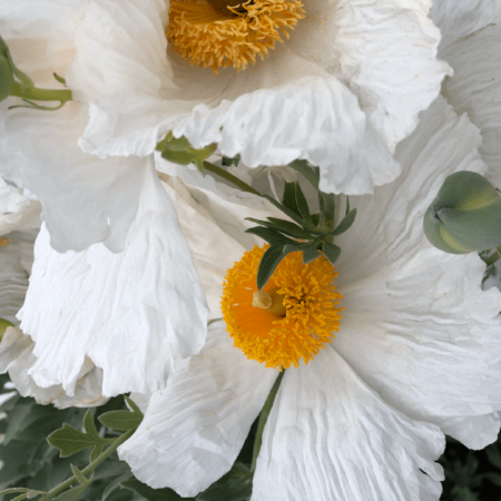 Here's a close-up pic I took of the Matilija Poppies.  I love their delicate white wavy petals.  They are about 4 inches in diameter.