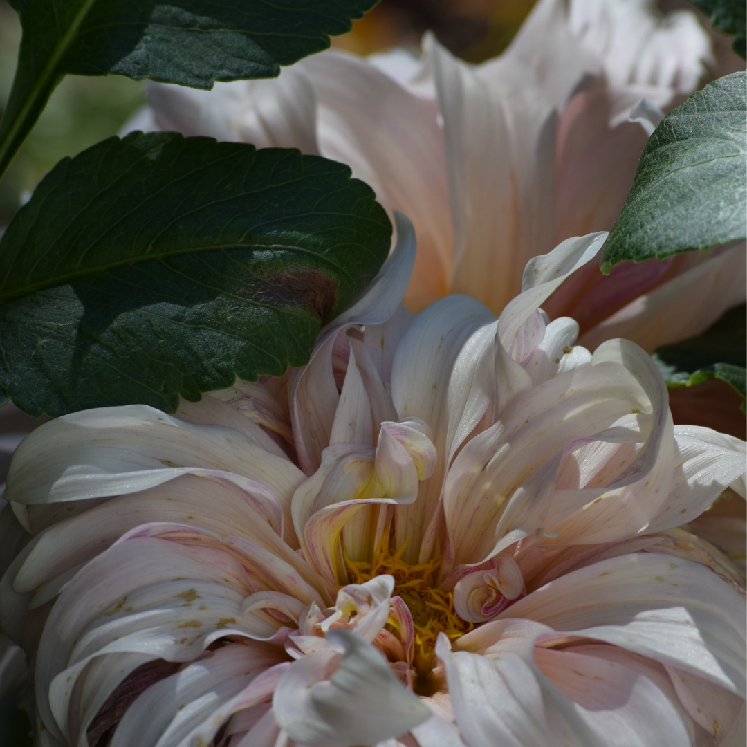 A close-up of the Cafe Au Lait Dahlia from last year's garden.