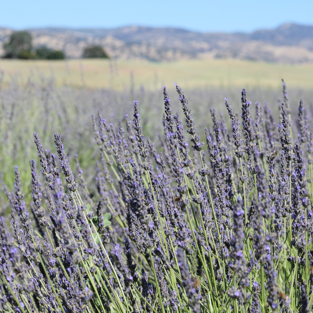 A view of the Capay Valley lavender farm, Patchwork Farm.